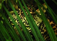 Beverly Joubert, A leopard's spotted coat provides camouflage in the dense forest. Women of Vision, Forest Lawn. Photo courtesy National Geographic Society.